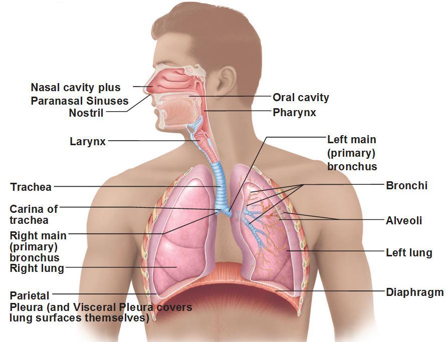 Cardiopulmonary Diseases